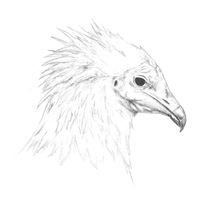 Egyptian Vulture by EdgedFeather