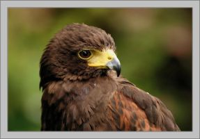 A Harris Hawk by Rajmund67