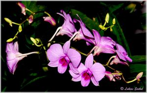 Orchids Of Thailand VI by lukias-saikul