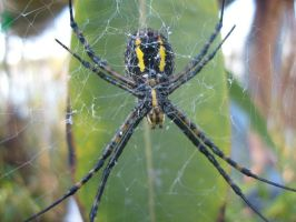 Garden Spider by Damninic