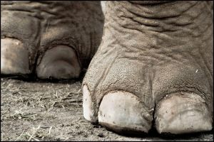 Elephant Feet by scarletarts