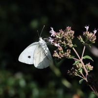 white butterfly by vw1956stock