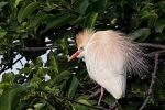 Nesting Cattle Egret by papatheo