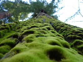 Moss on a redwood by atomjell