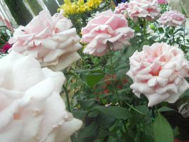 Pale Pink Roses by Madnessofthewolf