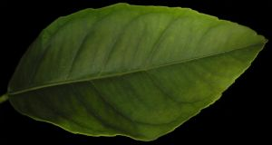 lemon tree leaf by levi-stock