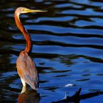 Louisiana Heron 3 by The-World-Is-Our