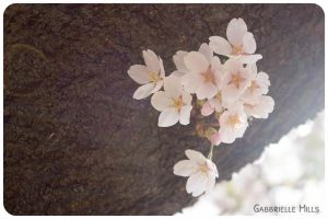 Cherry Blossoms 9 by moofestgirl