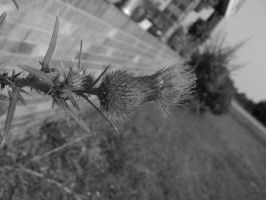 Thistle 002 by Night-Forager