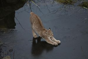 Lynx on Ice by JRL5