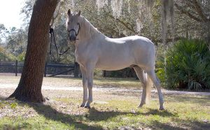 Andalusian Stallion Pecos by Deirdre-T