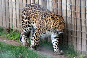 Focus (Leopard YWP) by SD-13