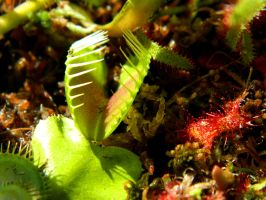 Dionaea muscipula and drosera rotundifolia 2 by PurebloodRose