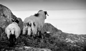 Torr Head Sheep IV by younghappy