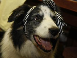 Collie with bow by Photoburner