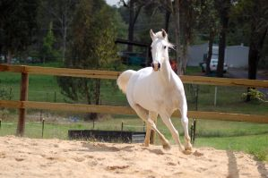 Arab ears up turn trot by Chunga-Stock