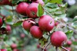 Nature's Bounty - wild apples2 by sylverwolffe