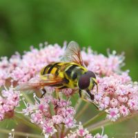 Another kind of hoverfly by Jorapache