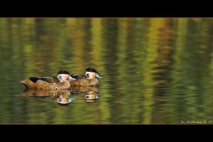 Hottentot Teal by MrStickman