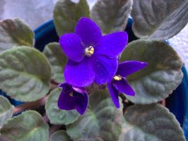 Violet by paolaquasar