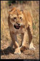 ANGRY LIONESS by dogansoysal