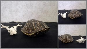 Small Box Turtle Shell FOR SALE by cometSuicide