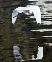 Egret watching it's reflection by drewii57