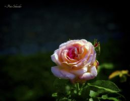 Roses (IV). by Phototubby
