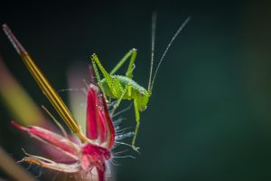 Speckled bush-cricket by DavidVeevers