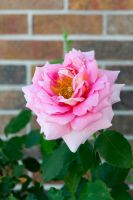 Brick Rose by Chiller252