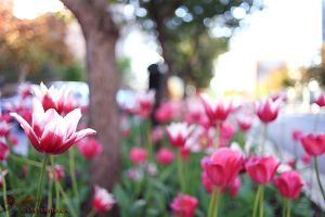 Montreal Flowers 01 by CasePhoto