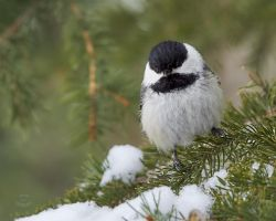 Black Capped Chickadee in Spruce by JestePhotography