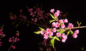 Cherry Blossoms at Night by Alamuki