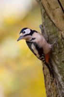 Greater Spotted Woodpecker by naturelens