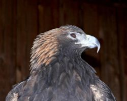 Golden Eagle VIII by ixbalam