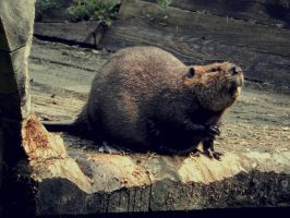 Beaver by JohnstonColleen
