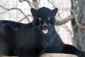 Black Jaguar 3 by 8TwilightAngel8