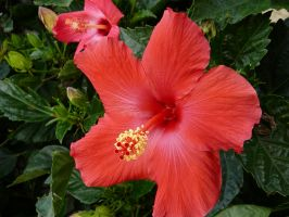 Red Hibiscus Flower Stock by Enchantedgal-Stock