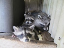 Young Raccoons 36 by Windthin
