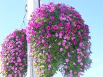 beautiful hanging flowers by BlueIvyViolet