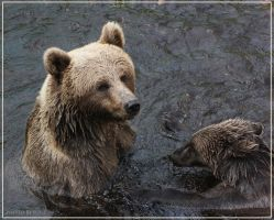 Brown Bears1 by Globaludodesign