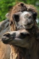 Two Camels by NorthernLand