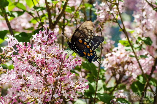 Spicebush Swallowtail (Papilio troilus) by Busted11290