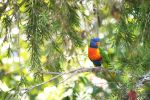 Rainbow Lorikeet by cmdesigna