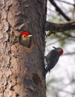 Ma and Pa Woodpeckers by Tailgun2009