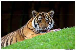 Baby Tiger: Food Time by TVD-Photography