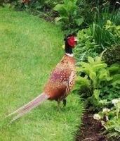 Pheasant by Lust0fADeeperPain