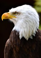 Bald Eagle 2 by Jetstream1118