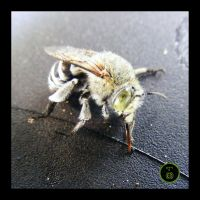 Blue-banded Bee on Deathbed by Ranger-Roger-Reserve
