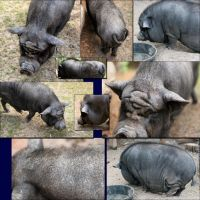 POT BELLY PIG by crumpstock